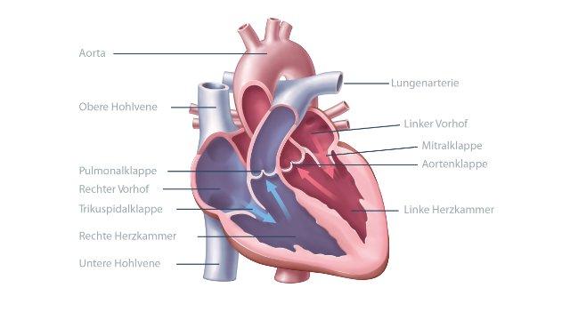 Abnehmen entlastet Herz und Kreislauf
