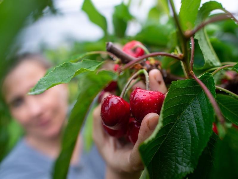 Mit Früchten die Schokogier überlisten