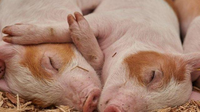 Schweinepest greift über-Image