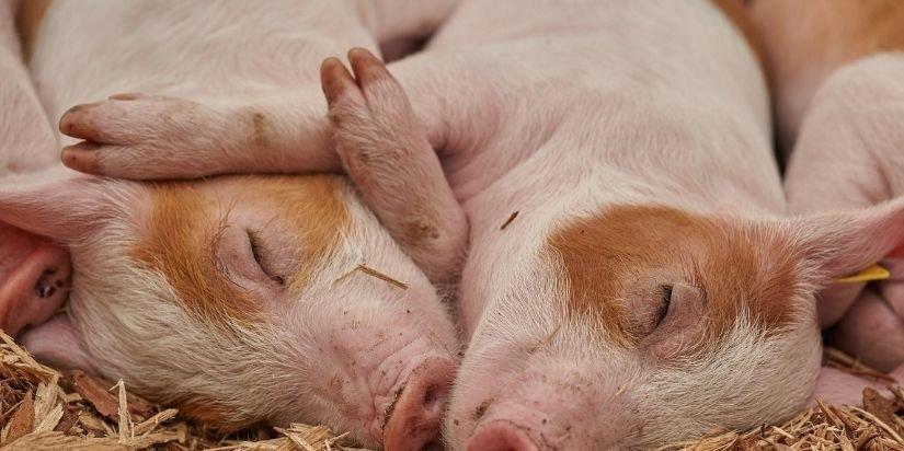 Kampf gegen Afrikanische Schweinepest geht weiter-Image