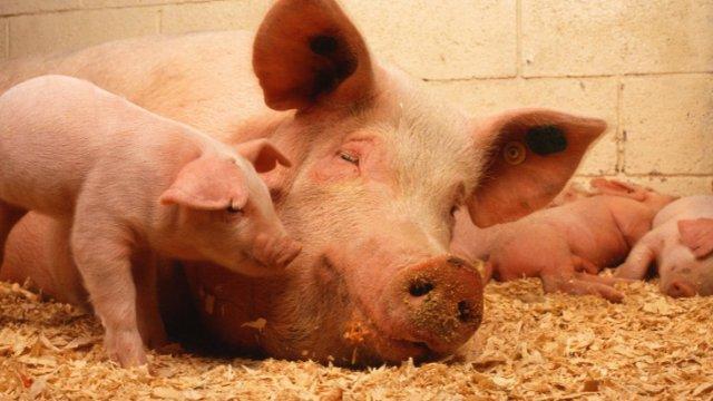 Schweinepest im Abklang?-Image